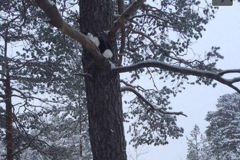 I denne furua vart katten oppdaga. Seinare klatra han endå høgre opp, og måtte bergast ned av ein klatrar.