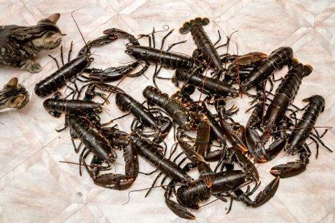 FORSIKTIG MED SAL: Både Fiskeridirektoratet og skattemyndigheitene kan bite frå seg viss dei oppdagar folk som sel fisk og skaldyr, slik som til dømes hummar og krabbe, på nettet utan løyve.  ARKIVFOTO.
