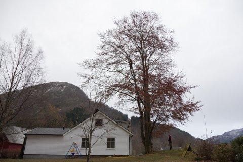 SER DU HAN?: Formann Kai Inge Nordbotten klatra høgt opp for å feste tauet i treet.