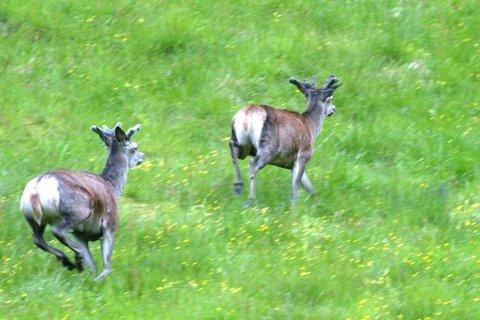 Det blir stadig felt ferre hjortedyr i Sogn og Fjordane. Ifølgje SSB var det felt 664 ferre dyr i fylket i 2015/16 enn året før.
