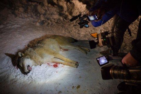 FINSK-RUSSISK: Eg ser det også viktig å få minne om at ulven som art internasjonalt slett ikkje er nokon trua dyreart, han er derimot godt utbreidd. Og uansett, så har vi i Noreg ikkje noko ansvar for å ta vare på svensk og finsk-russisk streifulv, skriv Sander Solheim.
