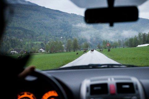 ILLUSTRASJONSFOTO: Bilde frå hjortar som kryssar vegen i Naustdal.