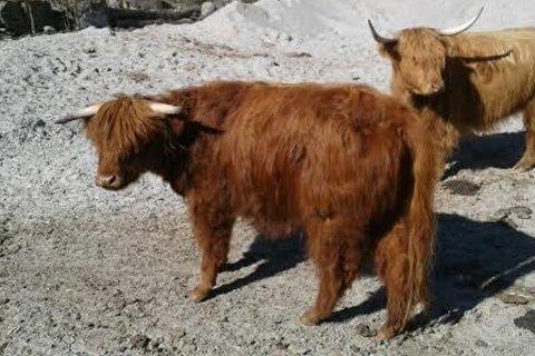 FRØKEN FREKEN: Denne kalven, som Ørjar Nydal har døypt Frøken Freken, har lurt fleire før til å tru at det er bjørn i området ved Torvund. - Eg kan forstå det, for den kan i nokre posisjonar likne.