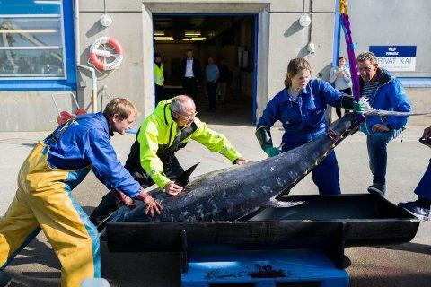 SVÆR: Her er mannskap frå Florø-fiskebåten Bluefin i gang med å få makrellstørjer på land etter eit vellukka fiske.