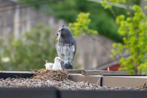 FUGLESKREMSEL: «Virker de, og bør man ødelegge hekkeplassene for rødlistede arter på denne måten?» spør Martin Eggen og Oddvar Heggøy i Norsk Ornitologisk Foreining