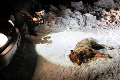 TRUGA BESTAND: – Ulven har blitt et symbol på alt som er galt på bygden. Folk på bygden har rett i at livsgrunnlaget deres på mange måter er truet, men det har ikke noe som helst med ulven å gjøre. Det handler om helt andre ting, skriv innsendar. Bildet er frå då ein ulv blei felt i Naustdal i 2014 og er ein illustrasjon til saka.