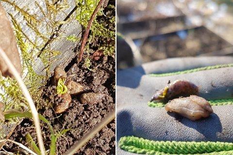 FØRDE: Allereie no har brunsniglane byrja å dukke opp i hagar i Førde. Men er ein rask, kan ein no ta knekken på mange i same slengen.