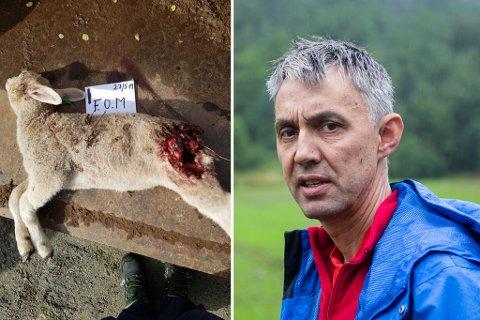 DREPE: Lammet til Arild Herstad var ikkje drepe av rev som han først trudde.