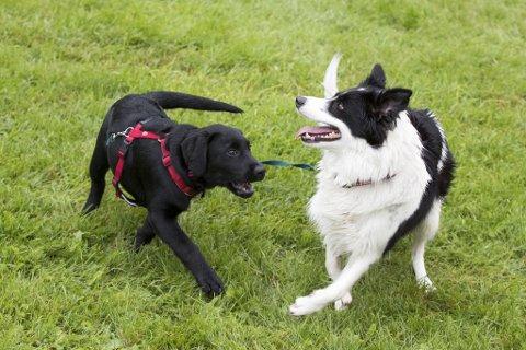 POPULÆRT: Svært mange har skaffa seg hund det siste året. Her leiker Daisy og Lotta i lag i parken (illustrasjonsbilde).