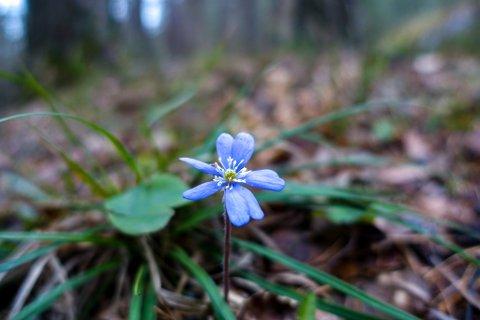Blåveisen blomstra i vegkanten på Svartskog i Oppegård midt i februar.