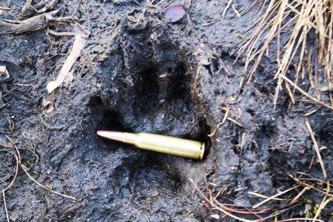 DIGERT SPOR: Dette sporet vart fotografert måndag 20. april, samme dag som ulven vart observert på Stav i Fjaler. Sporet er ni centimeter breitt.