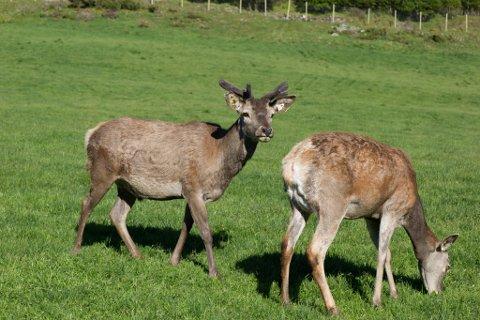 REKORDJAKT: Aldri før har det blitt skote så mykje hjort i kystkommunane Askvoll, Fjaler og Hyllestad som i 2020.