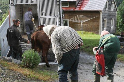 SISTE REISE:  Den siste kyra vert sendt frå Hjellahogen på Kleiva ein tidleg morgon i sommar. Roald Bringeland er sjåfør på dyretransporten og Per Tore Hove hjelper til.