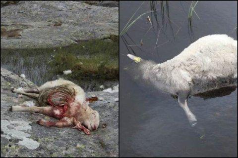 DREPNE: Ulven har den siste månaden drepe sju sauer. Lammet til høgre vart funne på Lavikdalen av ein turgåar.