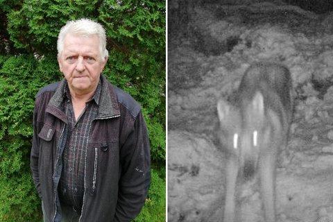 SÅG ULVEN: Kanskje var det desse lysande augene Jan Riisnes såg nyleg? Bildet er frå då ulven Lucky vart først fanga på viltkamera. Riisnes er ivertfall ikkje i tvil: Han kom nær nok til å vere sikker på at det var ein ulv som stod i vegen.