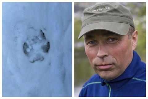 INGEN NYE FUNN: Onsdag vart det funne spor av ulven Lucky, men det vart ikkje fleire funn natt til torsdag, seier Stein Mortensbakke.