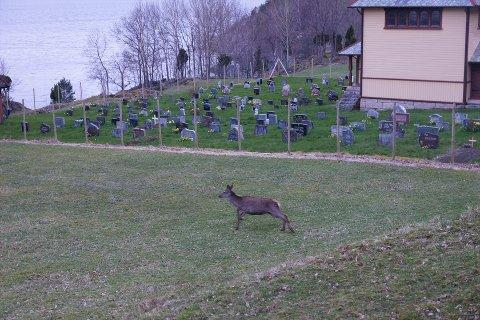 PÅ AVSTAND: Hjorten var flittige gjester på kyrkjegarden, men no kjem dei ikkje inn til kransar og blomar.