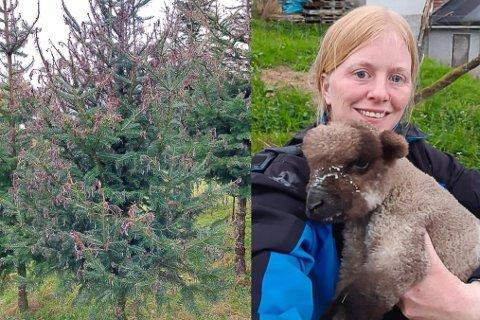 FORTVILANDE: To månader før juletresalet startar vart 5000 av juletrea til Nina Sofie Gjelsvik råka av mysisk sjukdom. No må ho sage ned alle.