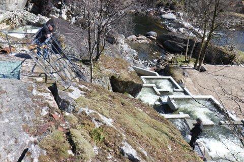 SNART OFFISIELL OPNING: 1. juni skal det klippast snor for den nye Peab-bygde laksetrappa i Hovefossen i Nausta. Det bryr hovudpersonen seg fint lite om, for villaksen har allereie funne vegen opp i elva gjennom den nye laksetrappa.
