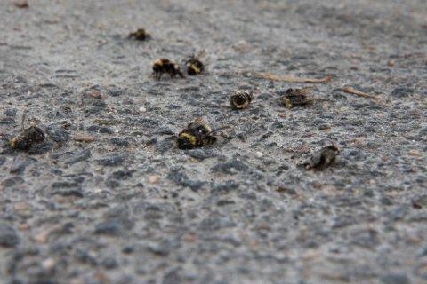 DØDE: Det ligg mange døde humler under lindetre ved NRK-bygget i Førde.