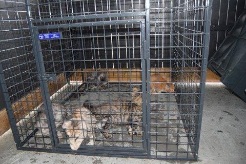 FRAKTET FRA POLEN: Også 58 levende dyr ble forsøkt smuglet over rensen i fjor, deriblant disse seks små rasekattungene. De ble fraktet fra Polen og lå i sin egen urin og avføring da de ble funnet av tollerne på Svinesund i september.