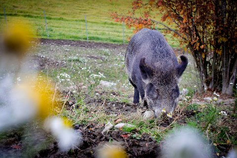 Nær oss: Det er sikkert ikke alle som blir glad for å høre at villsvin er sett i Råde. Men dyret er generelt ikke farlig for mennesker.