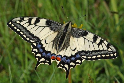 «Papilio machaon»: En av våre aller største og vakreste sommerfugler, svalestjerten, som man har kunnet følge i flere tiår i Hvaler-skjærgården, er ikke like ofte å se, forteller Kristiansen.