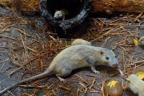 Gleder seg til jul: Rottene i kloakken tiltrekkes av fett og matrester som blir helt ut i vasken eller i toalettet. Kast ikke noe som frister rottene i avløpssystemet.