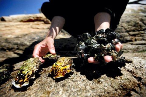 Også en ressurs: Stillehavsøsters, til venstre, kan høstes på linje med flatøsters og blåskjell. Nå skal den svartelistede stillehavsøstersen få egen forvaltningsplan. (Arkivfoto: Carl Martin Nordby)