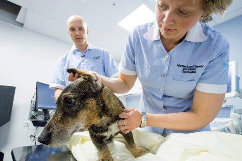 Flåtten herjer: Martine Lund Ziener får mange henvendelser fra hundeeiere som trenger hjelp med flåttproblemer. Med den plutselige varmen er det nå blitt mye flått i distriktet. Her er hun avbildet med kollega Ole H. Johnsen på Fredrikstad dyrehospital.