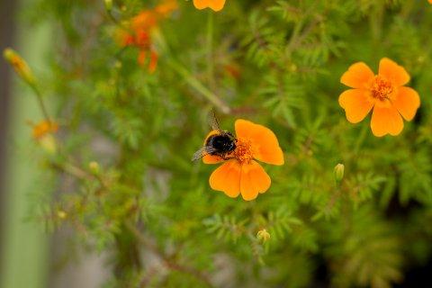 STOR AVSTAND: Tørken er dårlig nytt for humler og bier, som må reise langt mellom hver blomst for å spise nektar.
