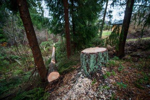 – Vent til vinteren eller våren med å felle trær, oppfordrer kommunen.