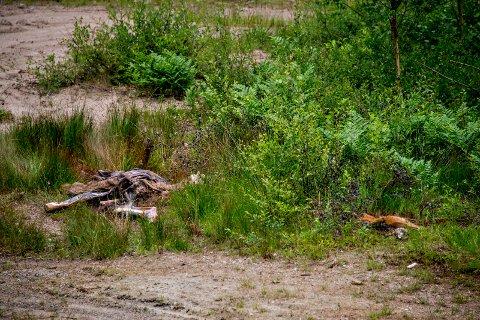 LITE POPULÆRT: Lukten fra de to kadaverne som er lagt i skogen er svært godt merkbar rundt dyreskrottene.