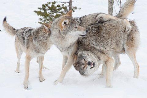 BEKREFTER: Statens naturoppsyn bekrefter at det er ulv – og ikke hund –som er observert i Troms den siste uken.