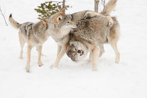 Ulvene i Polar Park ble skremt da jagerflyene brøyt lydmuren over Ofoten og Sør-Troms mandag ettermiddag.