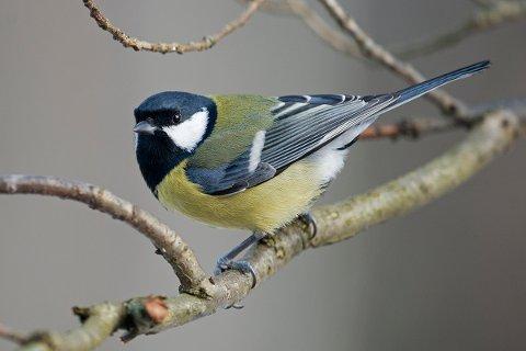 AVSLAG: Statsforvalteren i Nordland mener at Kjøttmeisens venner ikke er en egen trosretning men en gruppe med interesse for ornitologi.