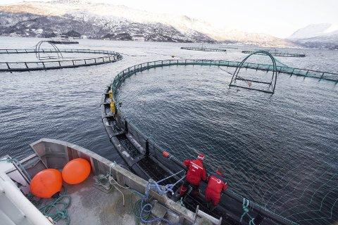 PEST ELLER PLAGE? Oppdrett har gitt politikerne i Narvik hodebry gjennom mange, mange år. For enkelte har det bare vært en plage, for andre en pest. Dermed har havbruk forblitt særdeles lite i Narvik. Men for å få mer fart i næringslivet, er det stadig flere som er villig til å ta kampen for å åpne Ofotfjorden for en næring som har tjent svært store penger de siste årene.