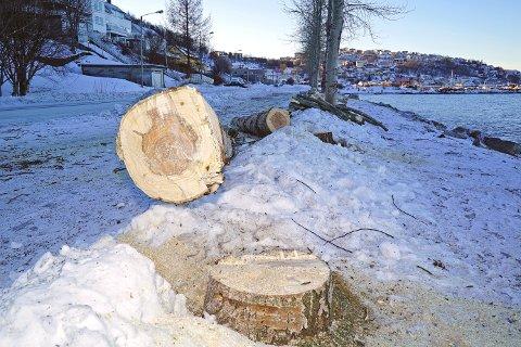 HUGGET NED: To av tre av de mye omtalte Alaskapoplene i Taraldsvik har måttet bøte med livet.