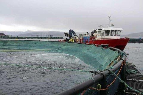 Rammet: Den farlige laksealgen har også påvirket arbeidet på Ballangen sjøfarm.