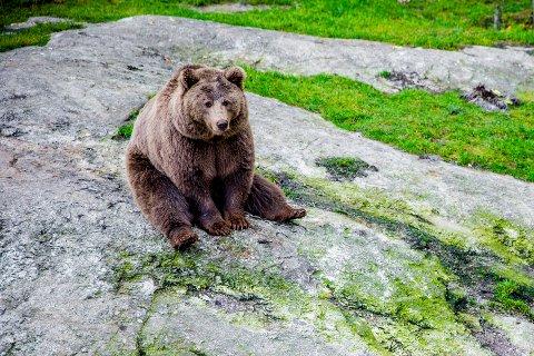En nasjonal overvåking viser en positiv utvikling for bestanden av brunbjørnen.Foto: Stian Lysberg Solum / NTB scanpix