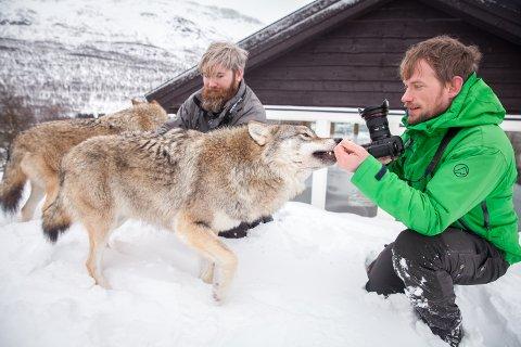 ULVEKYSS: Chris Fleet og Øyvind Hansen hilser på ulvene i Polar Park. 2019 ble det nest beste året for parken som er blitt kjent i hele verden for nærkontakten du kan få med ulvene,
