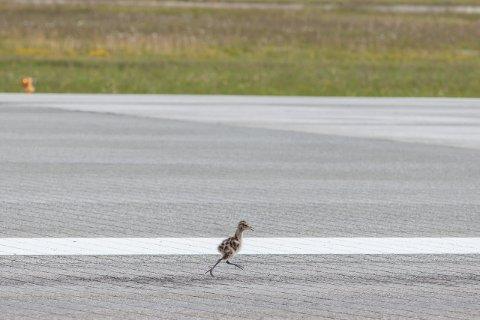 Fugler, store og små, er høyst uønsket på rullebanen på Evenes.