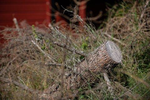 FELTE TRÆR: I august i fjor skal mannen i 50-årene ha truet en av naboene med motorsag. Trusselsituasjonen fant sted etter at den nå domfelte mannen skal ha felt trær på grensen mellom deres eiendommer. Foto: Vidar Sandnes