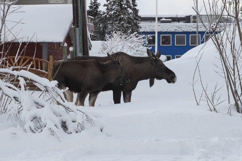 BYELG: Disse elgene befant seg tirsdag tidlig ettermiddag på parkeringsplassen ved Idrettens hus. Foto: Mikael Marius Brendvik