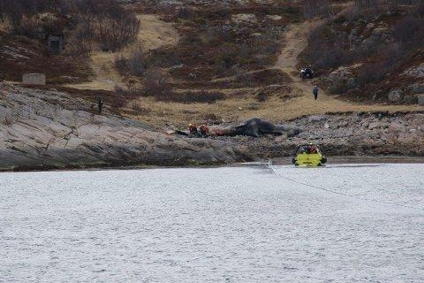 SLEP: KV Svalbard startet fredag en slepeaksjon av en spermhval på Tjeldøya. Hvalen var 16 meter lang og vegde rundt 40 tonn i levende tilstand.