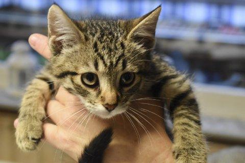 OVERLEVER IKKE: «Baby» har kattepest. Døden er nær, for smittede katter overlever ikke.
