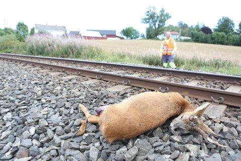 TOGET: Som biltrafikken, dreper også toget rådyr på Vestfoldbanen.