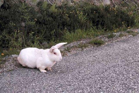 RØMLING? Noen kaniner ser sitt snitt til å stikke av. Men når de blir funnet, er det ikke alle eiere som synes det er så om å gjøre å få dem tilbake igjen. Da havner de hos Dyrebeskyttelsen. (Arkivfoto.)