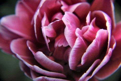 BLOMSTRING: Tulipanblomstringen går unna i år - og er like flott som alltid.