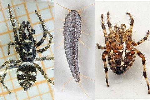 Edderkopper livnærer seg av så mangt, blant annet sølvkre.